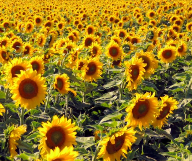 Sunflower mania