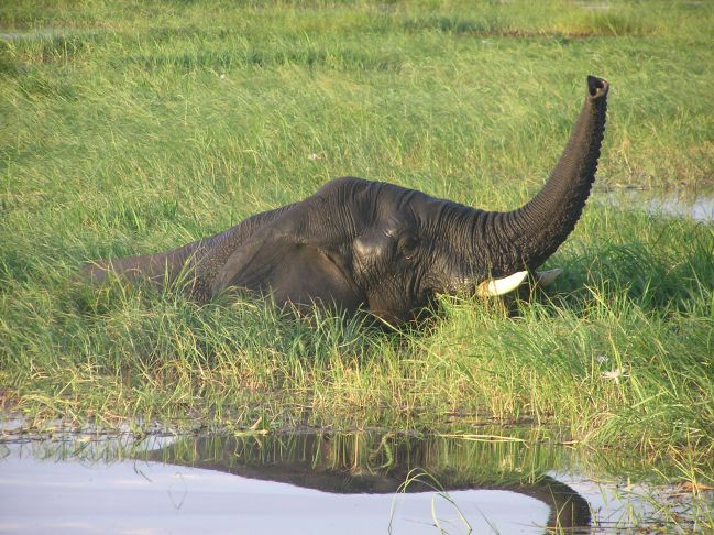 let`s swimm (Chobe river, Botswana)